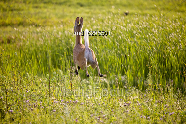 Deer Jumping In Field Crop In Saskatchewan Canada Stock Photo