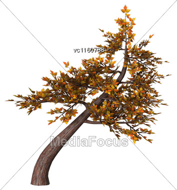 Digital Render Of An Autumnal Bonsai Tree Isolated On White Background, Shakan Style Stock Photo