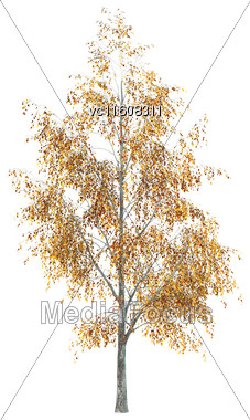 Digital Render Of A Birch Tree Isolated On White Background Stock Photo