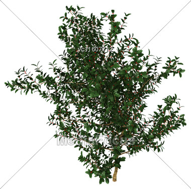 Digital Render Of A Holly Bush Isolated On White Background Stock Photo