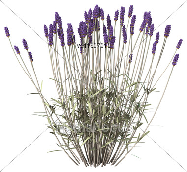 Digital Render Of Lavender Flowers Isolated On White Background Stock Photo