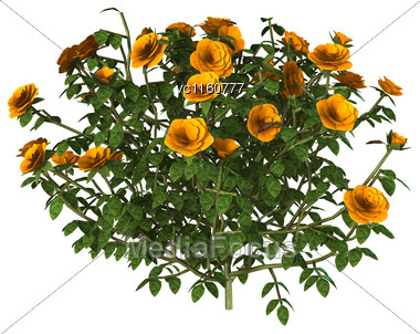 Digital Render Of An Orange Rose Bush Isolated On White Background Stock Photo