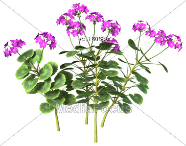 Digital Render Of Purple Geranium Flowers Isolated On White Background Stock Photo