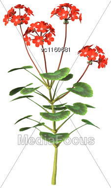 Digital Render Of Red Geranium Flowers Isolated On White Background Stock Photo