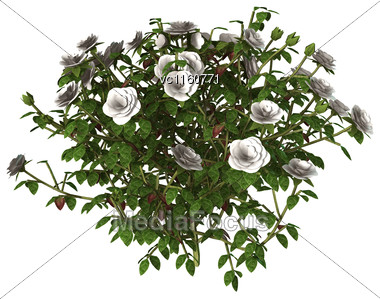 Digital Render Of A White Rose Bush Isolated On White Background Stock Photo