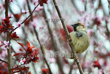Disheveled Little Sparrow Sitting On A Plum Branch Stock Photo