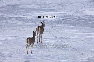 Doe Deers Walking On Ice In Alberta Canada Stock Photo
