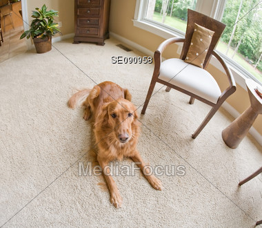 Dog in a Living Room Stock Photo