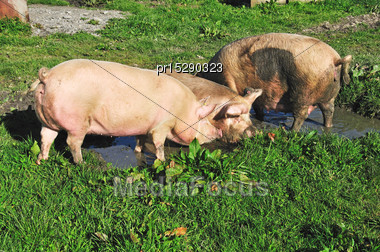 Domestic Pigs Wallowing In A Mud Puddle, Westland, New Zealand Stock Photo