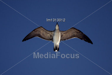 Down Of Sea Gull Flying In The Sky In Mexico Playa Del Carmen Stock Photo