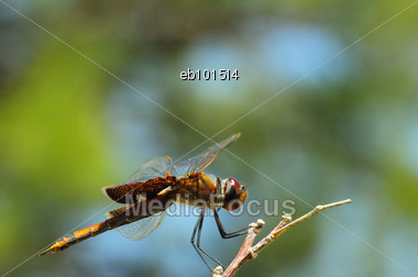 Dragonfly Clinging To A Twig Stock Photo