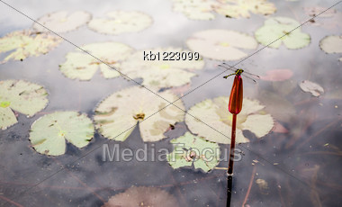 Dragonfly Rest At Lotus In Swamp Stock Photo
