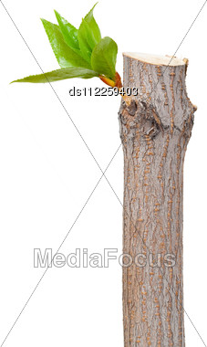 Dry Branch With Leaf Buds Stock Photo