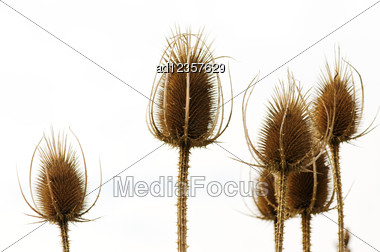 Dry Field Flowers On A Background Of Sky Stock Photo
