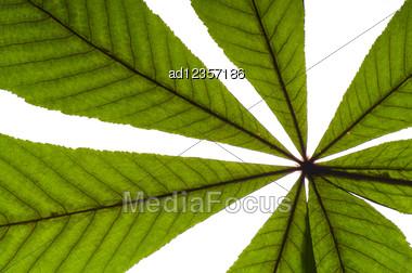 Dry Green Chestnut Tree Leaf On White Stock Photo