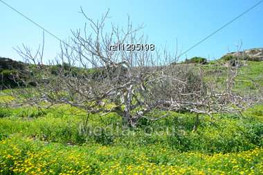 Dry Tree In Yellow Daisies Field Stock Photo