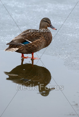 Duck On The Ice Partially Frozen Lake Stock Photo
