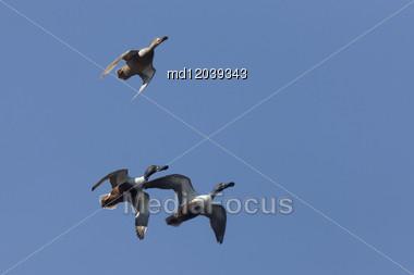 Ducks In Flight In Saskatchewan Canada Blue Sky Stock Photo