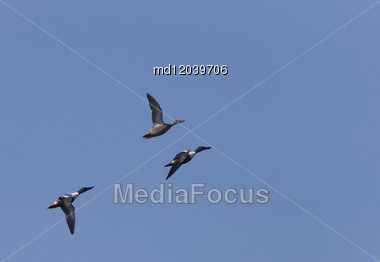 Ducks In Flight In Saskatchewan Canada Blue Sky Stock Photo