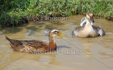 Ducks Swim In The Lake Stock Photo