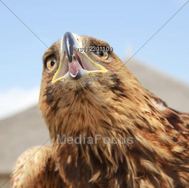 Eagle Head On Blue Sky Background. Close Up Stock Photo