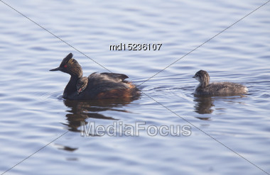 Eared Grebe With Babies Saskatchewan Marsh Canada Stock Photo