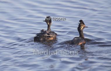 Eared Grebe With Babies Saskatchewan Marsh Canada Stock Photo