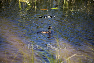 Eared Grebe Saskatchewan In A Pond Canada Stock Photo