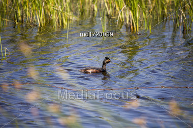 Eared Grebe Saskatchewan In A Pond Canada Stock Photo