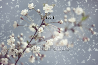 Early Spring. Abstract Natural Backgrounds With Blossom Snowy Apricot Flowers Stock Photo