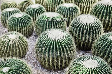 Echinocactus Grusonii, Popularly Known As The Golden Barrel Cactus Stock Photo