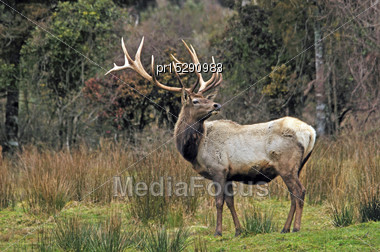 Elk Stag On The Lookout In Bush, Westland, New Zealand Stock Photo