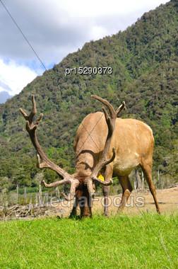 Elk Stag In Velvet, West Coast, South Island, New Zealand Stock Photo