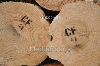 Endgrain Of Pinus Radiata Logs Stock Photo