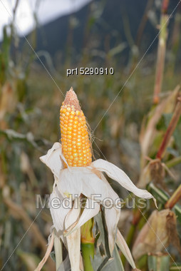 Exposed Cob Of Maize After A Wind Storm On A Dairy Farm In Westland, New Zealand Stock Photo