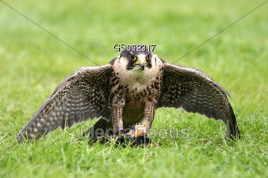 falcon protecting his prey Stock Photo