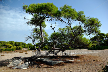 Fallen Down Old Pine Tree At Sunny Summer Day Stock Photo