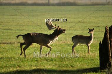 Fallow Deer Buck, Dama Dama, Bugling On A Farm In Westland, New Zealand Stock Photo
