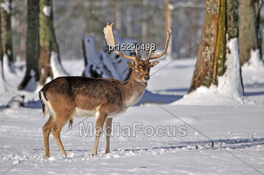 Fallow Deer Buck, Dama Dama, Coughing On A Snowy Day In Westland, New Zealand Stock Photo