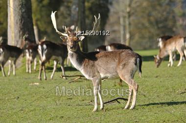 Fallow Deer Buck, Dama Dama, On A Farm In Westland, New Zealand Stock Photo