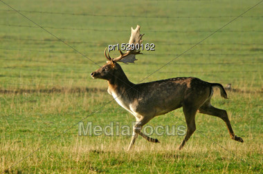 Fallow Deer Buck, Dama Dama, Running On A Farm In Westland, New Zealand Stock Photo
