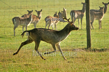 Fallow Deer Buck, Dama Dama, Running On A Farm In Westland, New Zealand Stock Photo