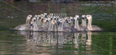 Family Of Canadian Goslings Swimming Together Stock Photo