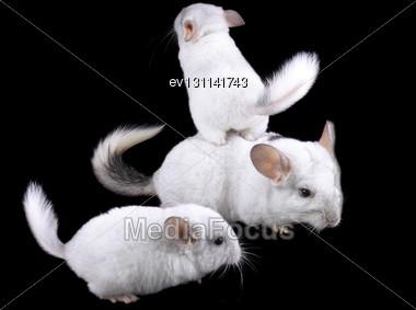 Family Of White Ebonite Chinchilla On Black Background Stock Photo