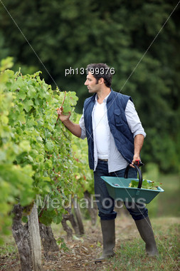 Farmer Checking On His Grapes Stock Photo