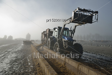 Farmer Doles Out Silage At The Feed Pad After Milking On A Foggy Morning In Westland, New Zealand Stock Photo