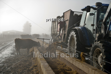 Farmer Doles Out Silage At The Feed Pad After Milking On A Foggy Morning Stock Photo