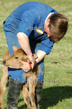 Farmer Ear Tagging Newborn Calf, West Coast, New Zealand Stock Photo