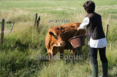 Farmer Giving A Cow Some Water To Drink Stock Photo