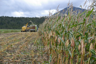 Farmers Harvest A Crop Of Maize For Silage On A Dairy Farm In Westland, New Zealand Stock Photo